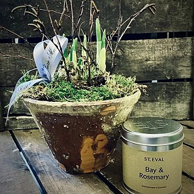 Daffodil bulbs growing in a terracotta pot with St Eval candle