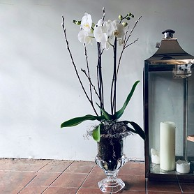 Orchids in a contemporary glass urn