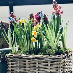 Rustic basket planted with spring bulbs